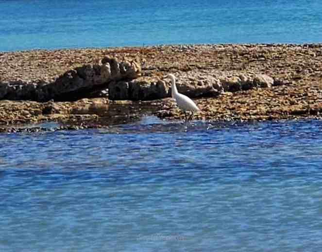 Florida Keys heron or crane.