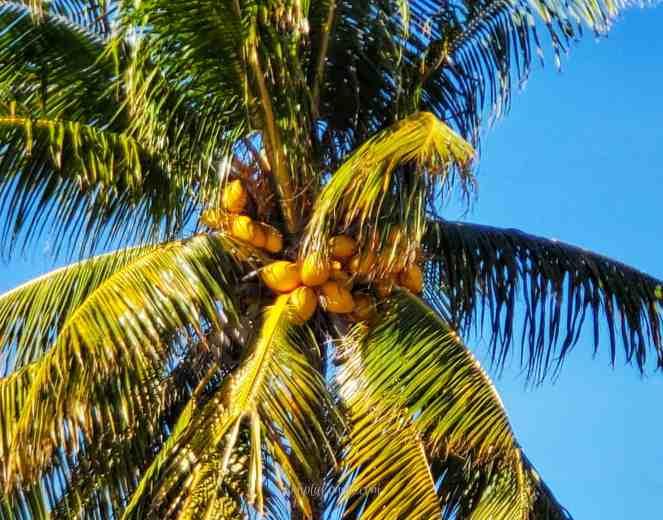 Coconut tree - Sombrero Beach - Marathon FL - Florida Keys