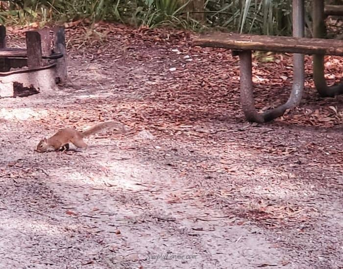 Squirrel in my campsite at Kathryn Abbey Hanna Park, Jacksonville FL